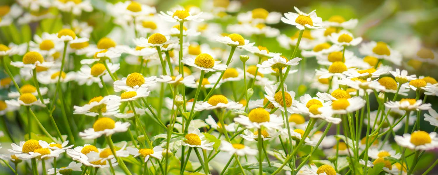 Rosemira Ingredients - Chamomile