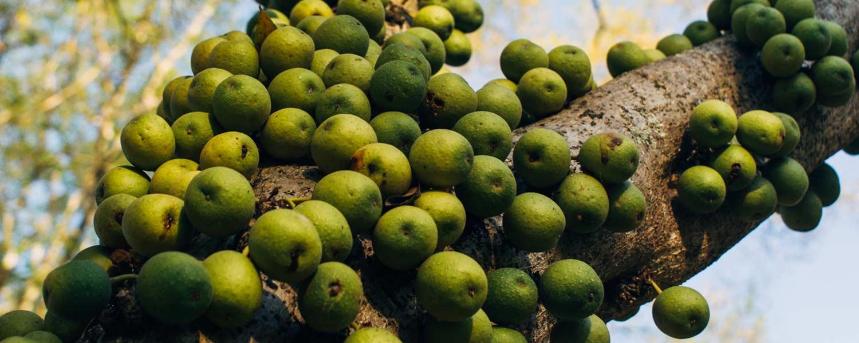 Rosemira Ingredients - Marula Oil