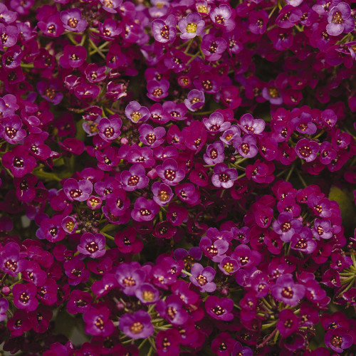 Alyssum 'Purple Shield'