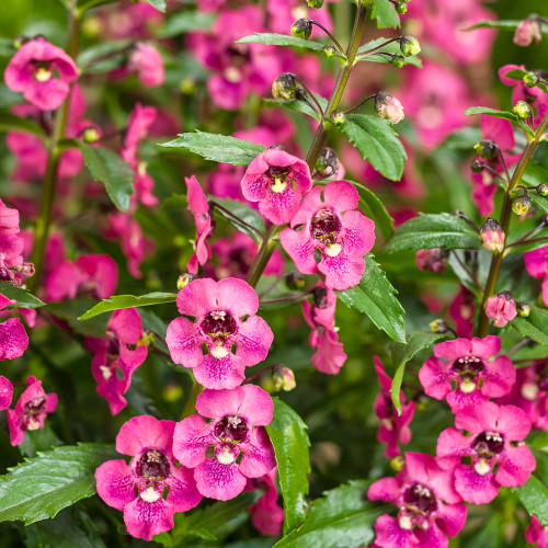 Angelonia 'Perfectly Pink'