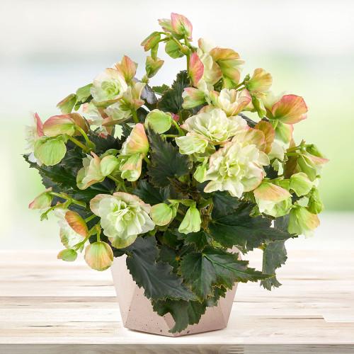 Begonia 'Frivola Magic'