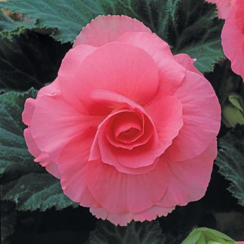 Begonia 'Roseform Rose'