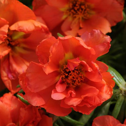 Oleracea 'Happy Hour Deep Orange'