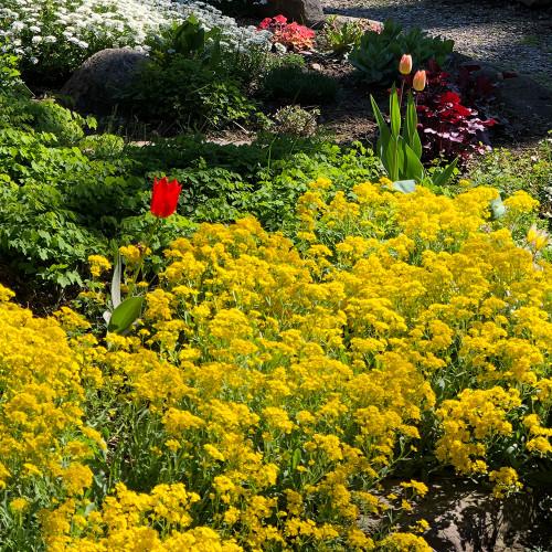Alyssum 'Golden Spring'
