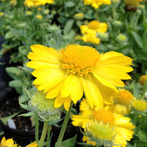 Gaillardia g. 'Mesa Yellow'
