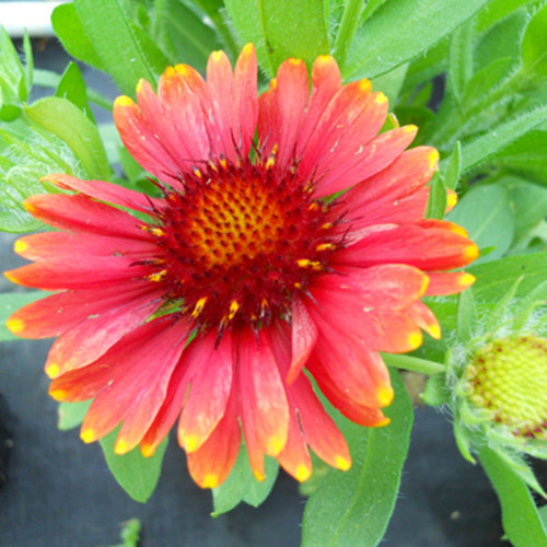 Gaillardia 'Arizona Red'