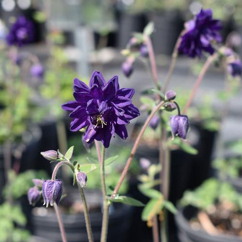 Aquilegia vulgaris 'Blue Barlow'