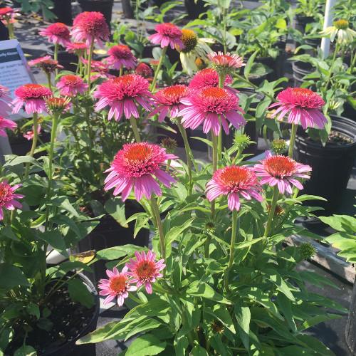 Echinacea purpurea 'Butterfly Kisses'