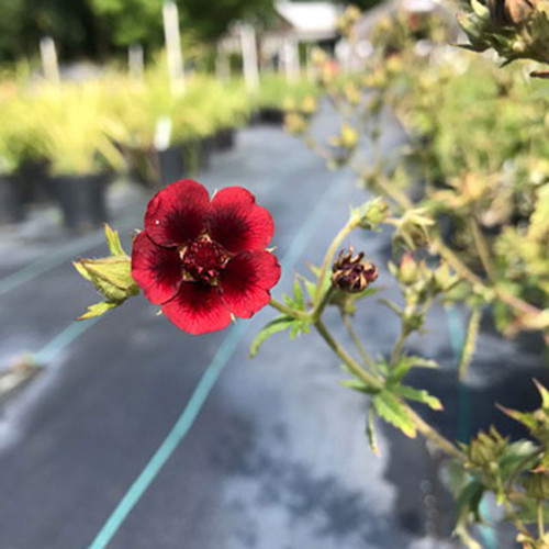 Potentilla 'Monarch's Velvet'