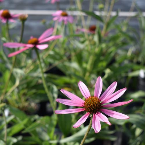Echinacea tennesseensis Hybrid