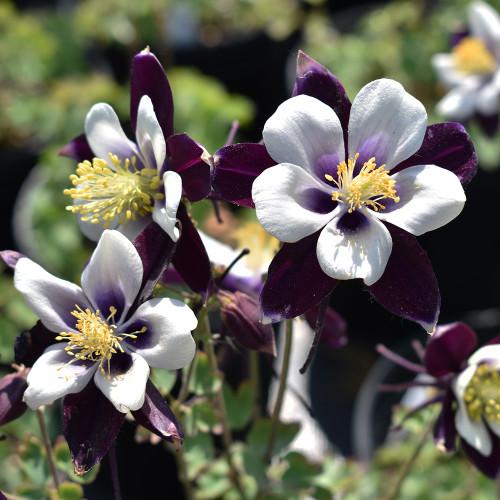 Aquilegia 'Violet & White'