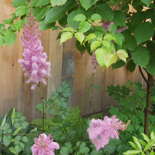 Astilbe chinensis 'Purple Candles'