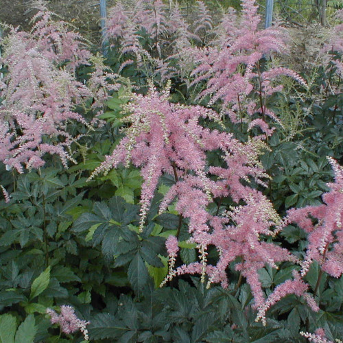 Astilbe x arendsii 'Bressingham Beauty'
