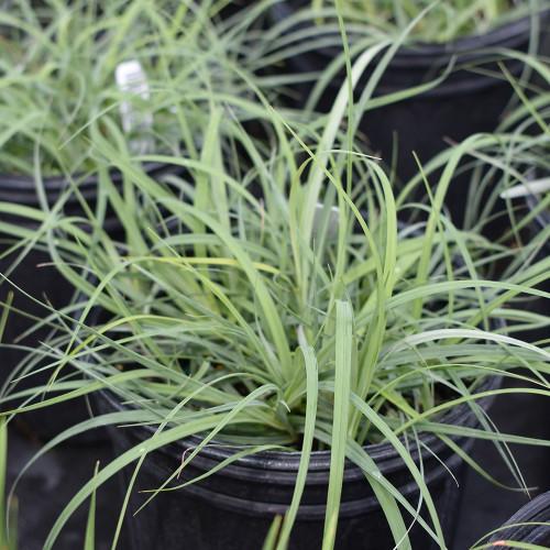 Carex glauca 'Blue Zinger'
