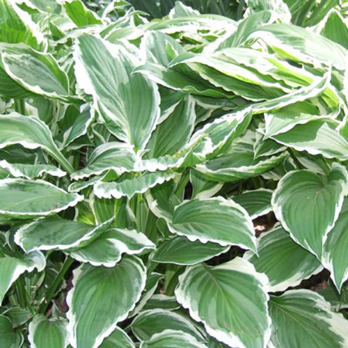 Hosta fortunei 'Albo Marginata'