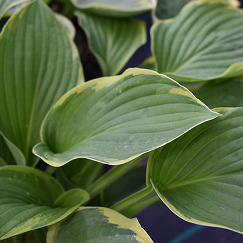 Hosta fortunei 'Aureo Marginata'