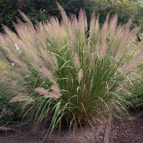Calamagrostis a. var. Brachytricha