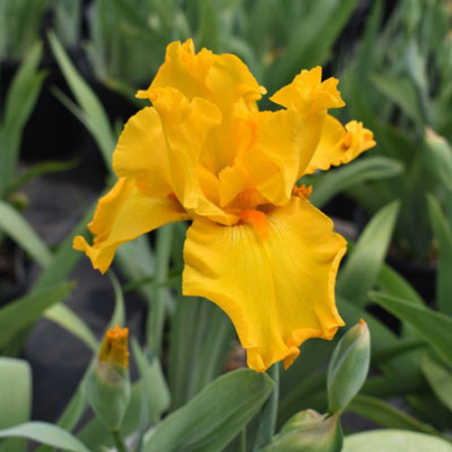Iris germanica 'Harvest of Memories'