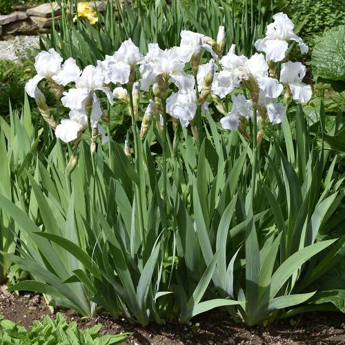 Iris germanica 'Immortality'
