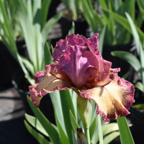 Iris germanica 'Rock Star'