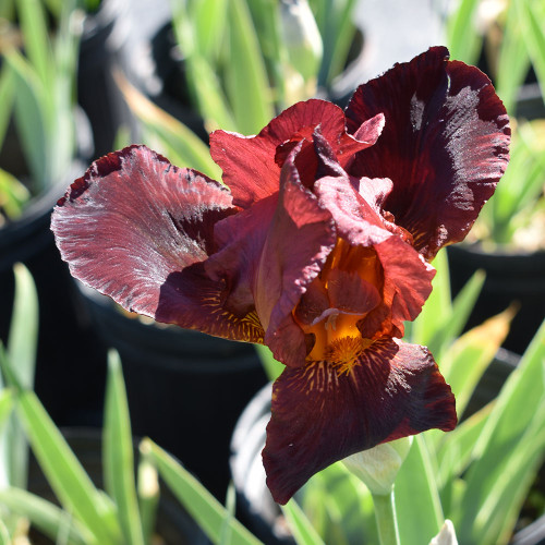Iris germanica 'Ruby Mine'