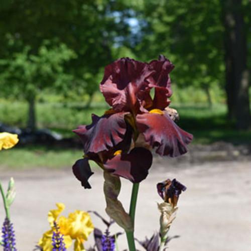 Iris germanica 'War Chief'