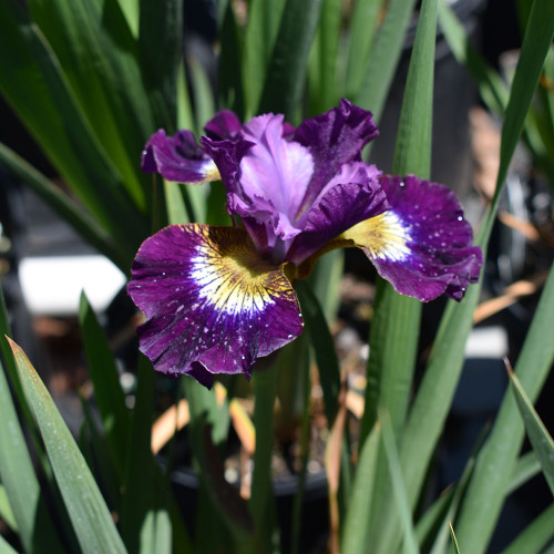 Iris sibirica 'Contrast in Styles'