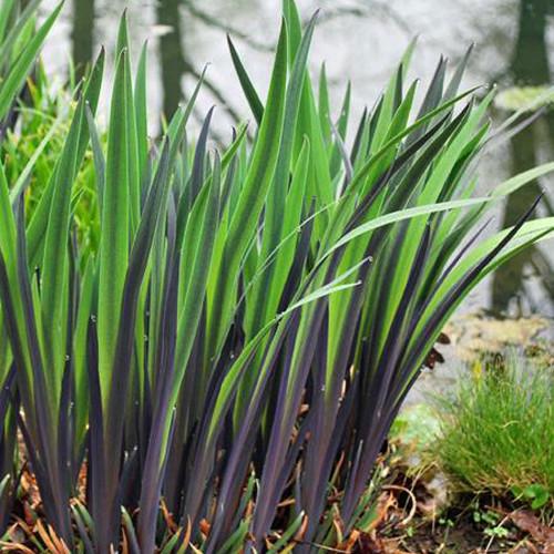 Iris versicolor 'Purple Flame'