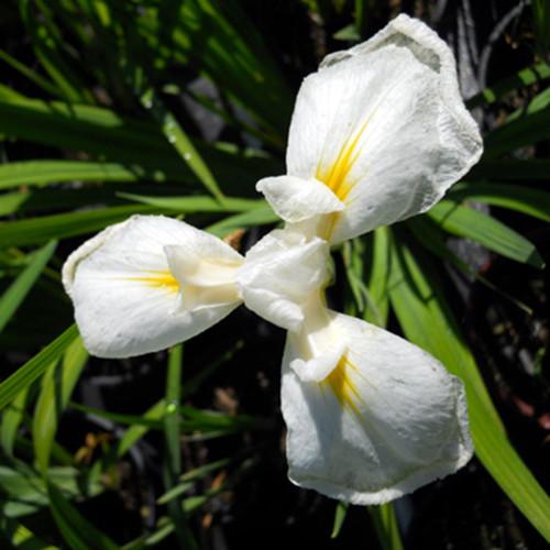Iris ensata 'Mt. Fuji'