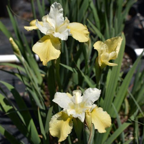 Iris sibirica 'Butter & Sugar'