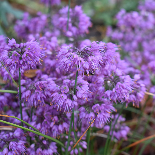 Allium thunbergii 'Ozawa'