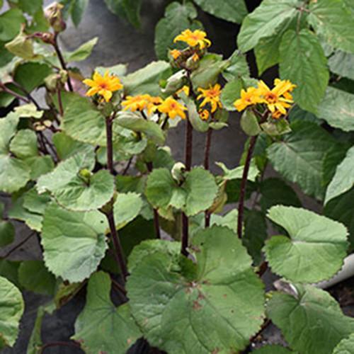 Ligularia dentata 'The Othello'