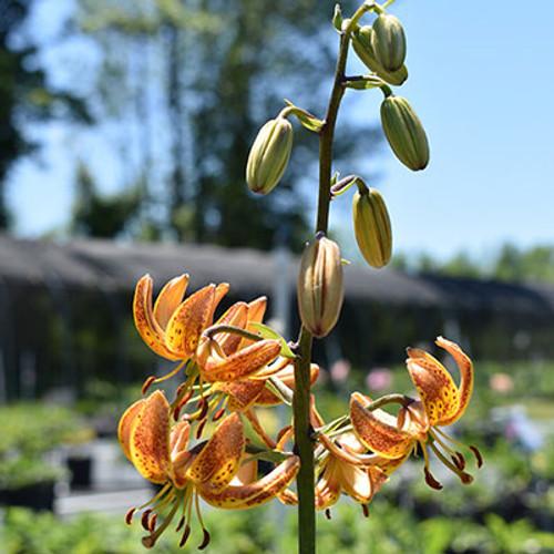 Lilium martagon 'Sunny Morning'