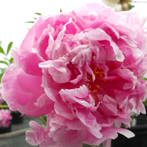 Paeonia 'Dr. Alexander Flemming'