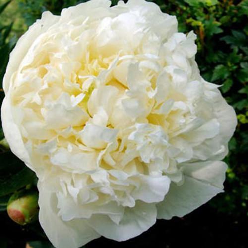 Paeonia 'Duchess De Nemours'