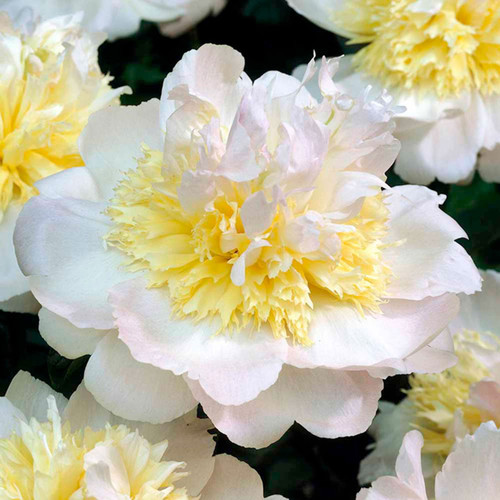 Paeonia 'Honey Gold'