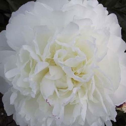 Paeonia 'Shirley Temple'