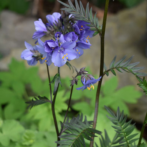 Polemonium c. 'Bressingham Purple'