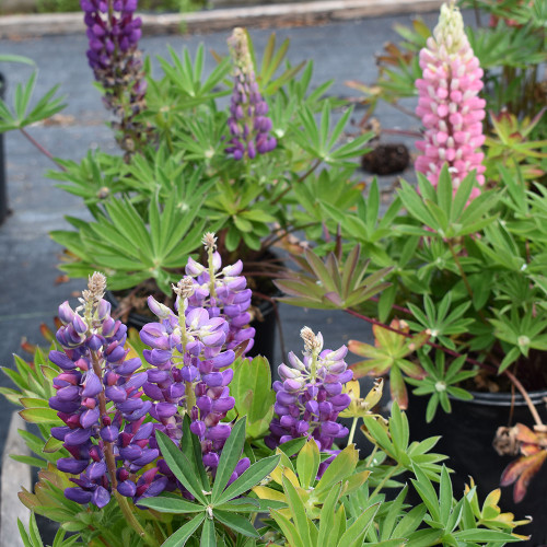Lupinus 'Russell Hybrids Mix'