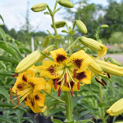 Lilium tigrinum 'Citronelle'