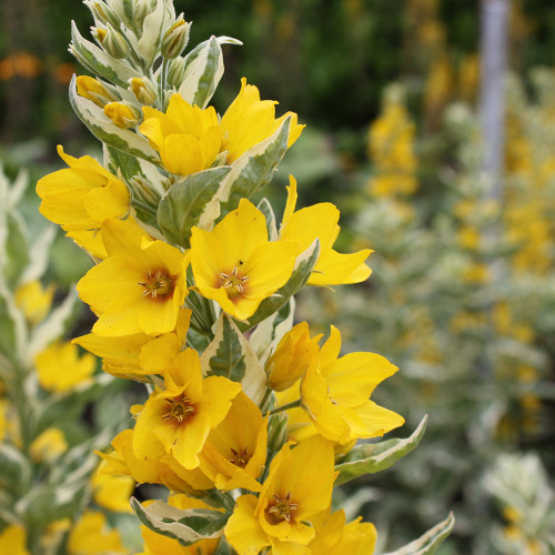 Lysimachia punctata 'Alexander'