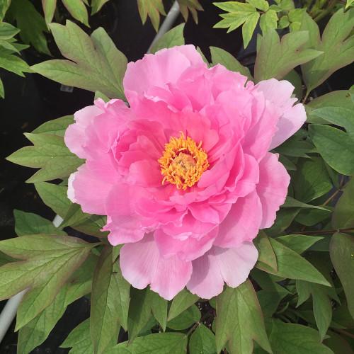 Paeonia suffruticosa 'Hanakisoi' (Pink)