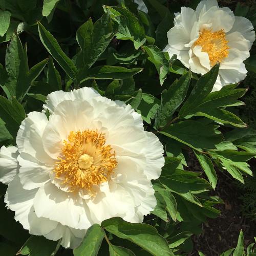 Paeonia suffruticosa 'Renkaku' (White)