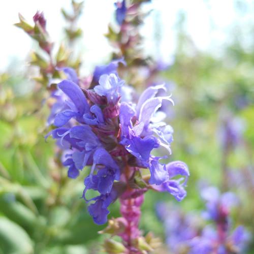 Salvia nemorosa 'Blue Hill'