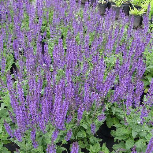Salvia nemorosa 'May Night'
