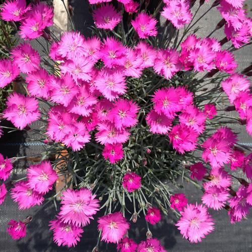 Dianthus gratianopolitanus 'Firewitch'