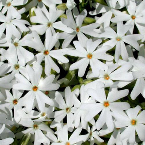 Phlox subulata 'Snowflake'