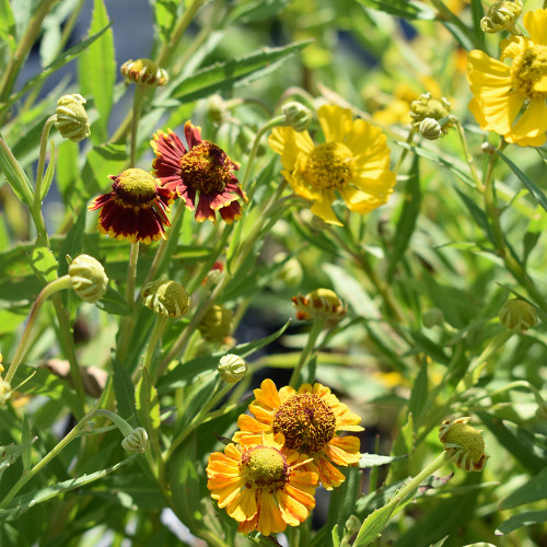Helenium 'Red & Gold Mix'