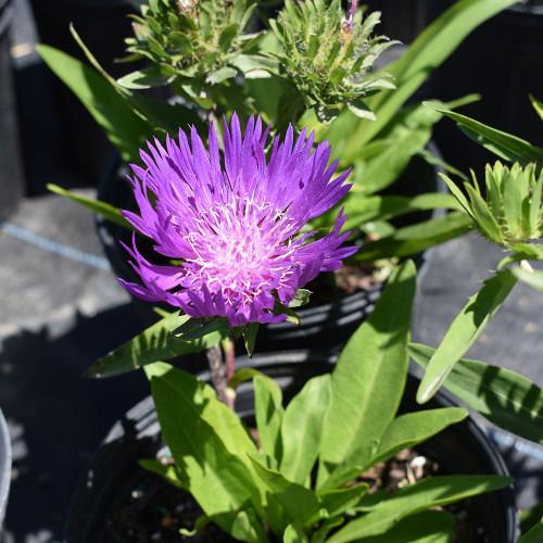 Stokesia 'Honeysong Purple'