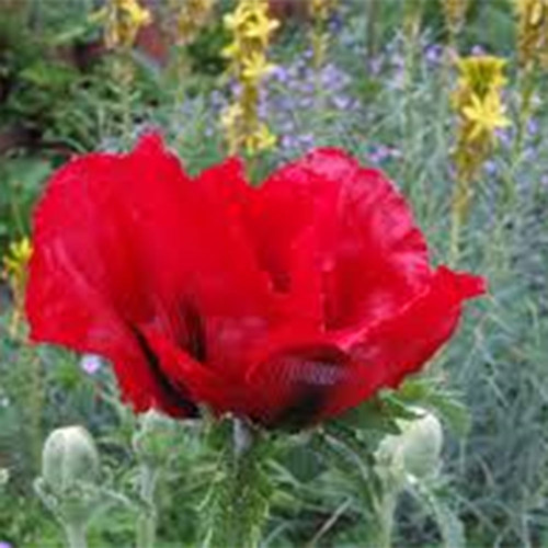 Papaver orientale 'Beauty of Livermore'